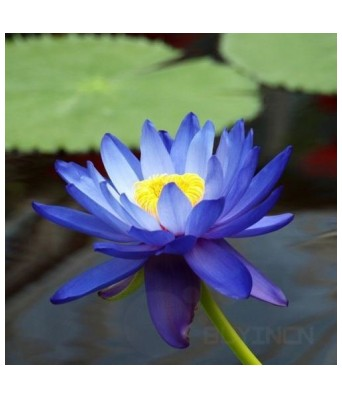 KANISHQ GARDEN BLUE LOTUS FLOWER SEEDS (PACK OF 10 SEEDS)