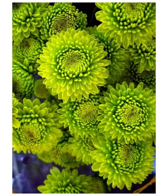 KANISHQ GARDEN MEXICAN GREEN AND YELLOW MARIGOLD FLOWER SEEDS (PACK OF 50 SEEDS)