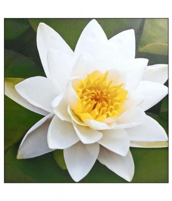 KANISHQ GARDEN WHITE LOTUS FLOWER SEEDS (PACK OF 10 SEEDS)