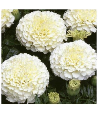 KANISHQ GARDEN VANILLA WHITE MARIGOLD FLOWER SEEDS (PACK OF 35 SEEDS)