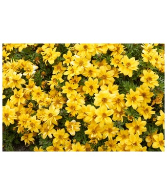 KANISHQ GARDEN MEXICAN YELOOW MARIGOLD FLOWER SEEDS (PACK OF 35 SEEDS)