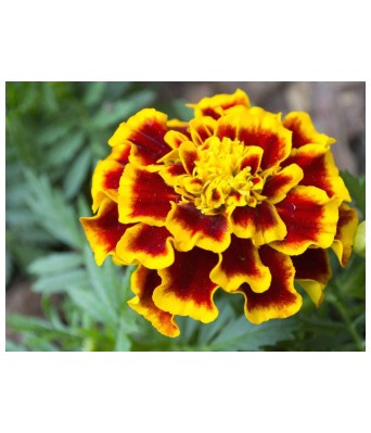 KANISHQ GARDEN AFRICAN MARIGOLD FLOWER SEEDS (PACK OF 35 SEEDS)